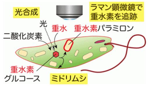 光合成により重水素をミドリムシへ取込ませラマン顕微鏡で追跡する手法の模式図