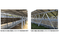 太陽光発電の陰を利用した農業、日射不要のキクラゲを栽培作物に、地元の雇用にもの写真