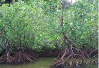 マングローブの可能性の写真