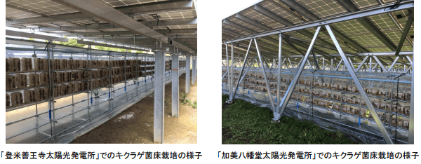 ソーラーシェアリングでのキクラゲ栽培、(左)「登米善王寺太陽光発電所」(右)「加美八幡堂太陽光発電所」