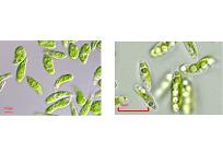微細藻類から燃料を作る、世界初の事業確立を目指した挑戦、ユーグレナとデンソーが包括的提携の写真
